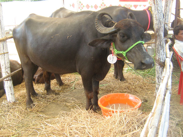 TATA AIG gets into buffalo trouble for dishonoring animal insurance